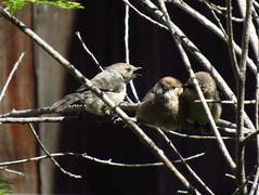 Conference of Bushtits. Inglewood, Ca. (stonebird) Tags: bushtit americanbushtit psaltriparusminimus inglewood ca img0340