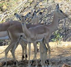 The Girls   (Impala) (Pixi2011) Tags: antelope wildlifeafrica southafrica africa wildlife wildanimals krugernationalpark animals