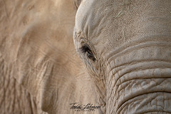 Khosi (ToddLahman) Tags: khosi elephants escondido elephantvalley elephant eyelock sandiegozoosafaripark safaripark portrait photooftheday profileheadshot photography photographer nikond500 nikonphotography nikon beautiful female mammal animal