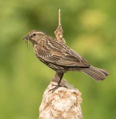 Red-winged Blackbird-7654 (Geoffrey Shuen Photography) Tags: amblesidepark redwingedblackbird blackbird bird