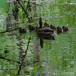 River Rises Giving Mallard Family Protection thumbnail