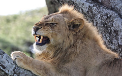 Happy Caturday (AnyMotion) Tags: lion löwe pantheraleo male tree baum 2018 anymotion ndutu ngorongoroconservationarea tanzania tansania africa afrika travel reisen animal animals tiere nature natur wildlife 7d2 canoneos7dmarkii portrait porträt porträtaufnahmen ngc npc