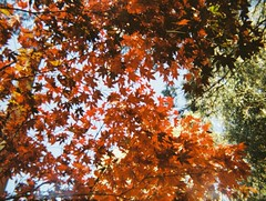 Autumn leaves (Matthew Paul Argall) Tags: revuepocket10 fixedfocus 110 110film subminiaturefilm lomographyfilm 200isofilm autumn autumnleaves leaves plasticlens