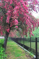 pink tree :) (green_lover (your COMMENTS are welcome!)) Tags: trees fence blossom blooming spring smileonsaturday fancyfence vanishingpoint hometown town pink green