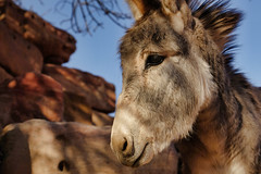Donkey on the Street Colonnade in Petra. Wadi Musa, Jordan (varfolomeev) Tags: 2017 иордания jordan fujifilmxt10 mountains горы