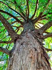 Kate's Tree (simonmgc) Tags: botanicgardens goldcoast kate pine tree