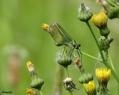 Miss beauté ! (Armelle85) Tags: e flore faune animal insecte libellule macro