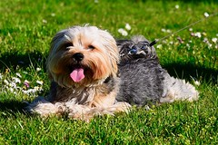 _DSC7989 Enjoying the sun (christinachui79) Tags: beautiful toydog nature flickrnature puppy puppies smallbreeddog yorkie maltese morkie cute dogportrait dogphotography doglover canines canine k9 furanimal animals animal pets pet dogs dog
