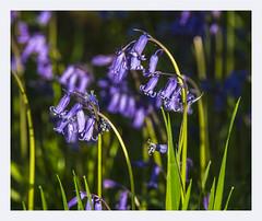 Hasenglöckchen (Werner Ba) Tags: blumen zwiebeln blau schottland natur frühling jahreszeiten wildpflanzen kleinpflanzen hasenglöckchen