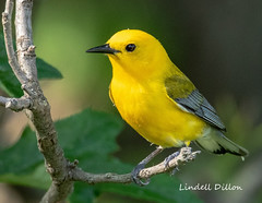 Prothonotary Warbler (Lindell Dillon) Tags: prothonotarywarbler neotropical birds birding nature oklahoma crosstimbers