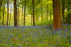 Evening Light (captures.in.time) Tags: bluebells wood blue countryside britain uk dalkeith scotland travel landscape landscapephotography flowers trees birds ngm nationalgeographic lonelyplanet midlothian countryfile forest tree grass park woods green fern