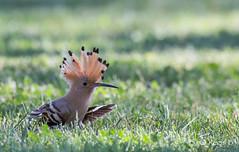C'est qui le chef ? (Régis B 31) Tags: aiguamolls bucérotiformes espagne eurasianhoopoe huppefasciée upupaepops upupidés bird oiseau explore