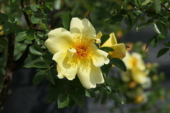 Rose 'Aicha' (steffi's) Tags: rose aicha hybrid spinosissima strauchrose petersen dänemark 1966 yellow gelb hellgelb bibernellrose