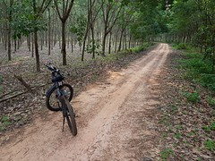Bicycle on dirt road in Rubber Plantation in Ban Rong Thong 1 (SierraSunrise) Tags: bicycle forest plantation rubber euphorbiaceae crops transportation road dirt unpaved hevea thailand phonphisai nongkhai isaan esarn