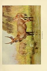 n144_w1150 (karadogansabri) Tags: zoology smithsonianlibraries bhl:page=33270258 dc:identifier=httpbiodiversitylibraryorgpage33270258 waterbuck southafrica taxonomy:binomial=kobusellipsiprymnus taxonomy:common=waterbuck mammals cobusdefassaunctuosus author:name=richardlydekker artist:name=friedrichwilhelmkuhnert artist:viaf=35212410 zoologysmithsonianlibraries