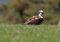 Osprey (Martial2010) Tags: osprey sitting perched grass angus scotland canon