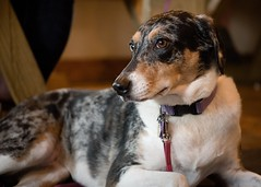 On Alert (lancekingphoto) Tags: dog watchful craftersbrew oakridge tennessee fujifilmxt2 fujinonxf50mmf2