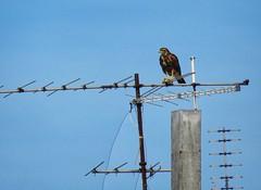 Ave de pico encorvado (carlos_ar2000) Tags: chimango ave pajaro bird naturaleza nature animal antena ant mirada glance avedepresa preybird pocitos montevideo uruguay