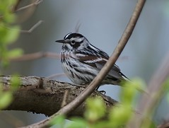 Black-and-white Warbler (Vladimir & Elena) Tags: nature spring migration animals birds fauna warblers wildlife blackandwhitewarbler