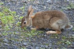 Rabbit 7 (Largeguy1) Tags: animal rabbit canon 5d mark iii tamron sp 150600mm f563 di vc usd