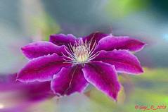 Clématite (Guy_D_2018) Tags: france flower flor blumen bunga 花 fiore blomst iledefrance virág lill blóm blodyn 꽃 lule kukka цвет цветок cvijet λουλούδι bláth zieds кветка gėlė vauréal цвете फूल fjura ծաղիկ voninkazo ყვავილების fleur nikon blomma gul hoa bloem çiçek زهرة kwiat گل d90 cvet ดอกไม้ květina kvetina floare בלום ਫੁੱਲ квітка clematis doublefantasy thebestofmimamorsgroups