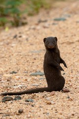 Mangouste naine (Le Méhauté Sébastien) Tags: dwarf mongoose mangouste naine kruger parc wild life wildlife nature sauvage afrique south sud