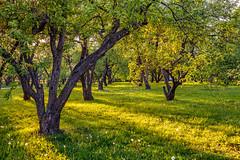 Sunlight in the apple tree garden (Moscow, Russia) (KonstEv) Tags: park garden moscow sun light grass appletree russia tree zeiss hdr makroplanar