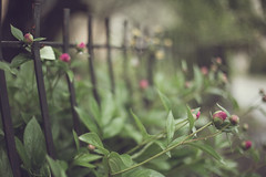 The fence and the rain (pierfrancescacasadio) Tags: smileonsaturday fancyfence maggio2019 18052019840a9406 hsos fence 50mm rain piovecomenoncifosseundomani mistoinfeltrendo peonie peony boccioli