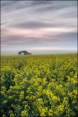DAWN HAZE AT THE BARN (Explore #2) (ianperkins11) Tags: rape seed oil canola barn farm countryside rural field yellow crop cloud mist haze sixpenny handley dorset dawn sunrise color colour