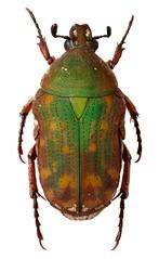 Cosmiophaenia rubescens (dries.marais) Tags: coleoptera scarabaeidae cetoniinae cetoniini cosmiophaenia rubescens fruitchafer zimbabwe africa