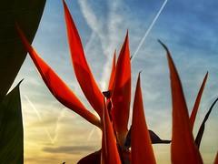 Giochi di luce (silvia07(very busy)) Tags: strelitziareginae petals petali luce light tramonto sunset cielo sky nuvole clouds scia