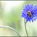 Blue for Bees
