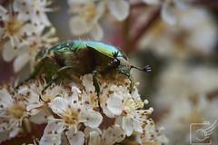 19-05-18VA9_1060 (Nutrimotion) Tags: 2019 insekten natur nikon d750 photographie switzerland baselland liestal