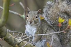 Eastern grey squirrel (Sciurus carolinensis) (octothorpe enthusiast) Tags: lemoinepointconservationarea kingston ontario birds sciuruscarolinensis easterngreysquirrel