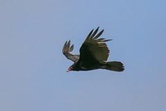 Turkey vulture (Cathartes aura) (octothorpe enthusiast) Tags: lemoinepointconservationarea kingston ontario birds cathartesaura turkeyvulture