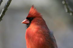Northern cardinal (Cardinalis cardinalis) (octothorpe enthusiast) Tags: lemoinepointconservationarea kingston ontario birds northerncardinal cardinaliscardinalis
