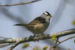 White-crowned sparrow (Zonotrichia leucophrys) (octothorpe enthusiast) Tags: lemoinepointconservationarea kingston ontario birds zonotrichialeucophrys whitecrownedsparrow