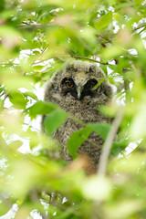 Junge Waldohreule (Fuchur308) Tags: eule natur vögel wildlife