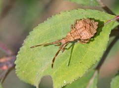 Coreus marginatus (6) (saracenovero) Tags: coreusmarginatus coreidae pentatomomorpha heteroptera hemiptera bugs bugsoflithuania wanzen 2018
