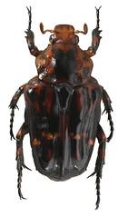 Uloptera planata (dries.marais) Tags: