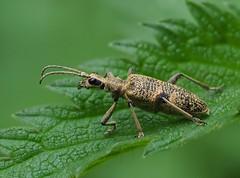 Rhagium mordax, Forêt de Soignes, Bruxelles (Frank.Vassen) Tags: coleoptera rhagium rhagiummordax cerambycidae forêtdesoignes zoniënwoud natureinbrussels
