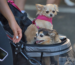 Dog Stroller (Scott 97006) Tags: dogs canines animals ride stroller cute