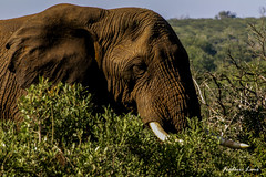 GE0A4510 (fredericleme) Tags: safari safarigame bigfive southafrica africa rsa wild wildlife nature reserve game thanda preservation elephant elephants