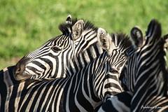 GE0A4734 (fredericleme) Tags: safari safarigame bigfive southafrica africa rsa wild wildlife nature reserve game thanda preservation zebras zebra