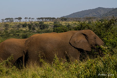 GE0A4587 (fredericleme) Tags: safari safarigame bigfive southafrica africa rsa wild wildlife nature reserve game thanda preservation elephant elephants