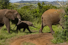 GE0A4538 (fredericleme) Tags: safari safarigame bigfive southafrica africa rsa wild wildlife nature reserve game thanda preservation elephant elephants