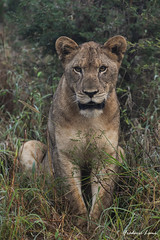 GE0A3757 (fredericleme) Tags: safari safarigame bigfive southafrica africa rsa wild wildlife nature reserve game thanda preservation lion lions