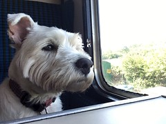 """Relaxed (37190 """"Dalzell"""") Tags: westhighland terrier dalzell traintravel dieselgala swanagerailway"""