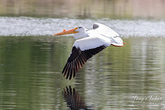 May 18, 2019 - A pelican takes flight in Adams County. (Tony's Takes)