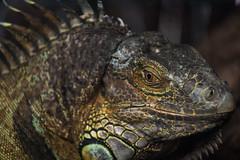 Iguana (jonathan.scaife81) Tags: iguana lizard scales macro eye depth field edinburgh butterfly world scotland canon 6d tamron 70300 tamron70300 focus reptile amphibian